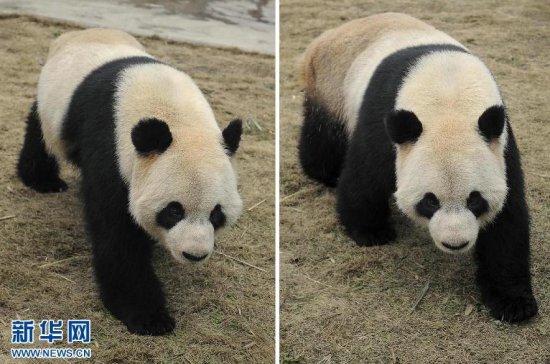 """""""大熊猫入住天堂动物园"""