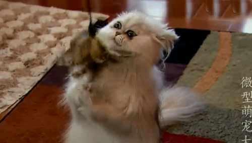 最受欢迎迷你波斯手袋猫